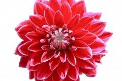 9893678-fleur-rouge-dahlia-isole-sur-fond-blanc-2